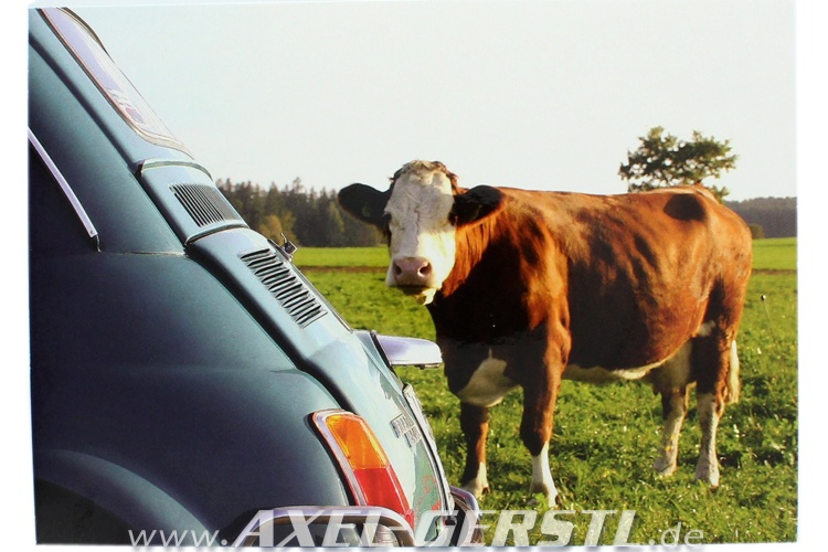 Postcard Fiat 500 with curious cow (148 x 105 mm)